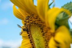 Primer de la abeja en el girasol Fotos de archivo libres de regalías