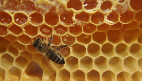Primer de la abeja en el panal Imagenes de archivo