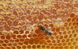Primer de la abeja en el panal Foto de archivo