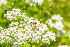 Primer de la abeja en el prado de las flores blancas Foto de archivo