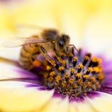 Primer de la abeja en la flor colorida Imagen de archivo