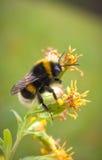 Primer de la abeja en la flor Imagenes de archivo