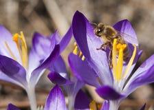 Primer de la abeja en la flor. Imagenes de archivo