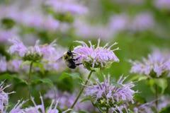 Primer de la abeja en la flor púrpura Imagenes de archivo