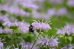 Primer de la abeja en la flor púrpura Imagen de archivo