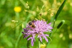 Primer de la abeja en la flor violeta Fotografía de archivo