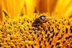 Primer de la abeja en sunflowe Imágenes de archivo libres de regalías