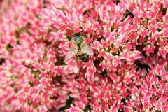 Primer de la abeja en un arbusto rojo brillante del sedum Imagenes de archivo