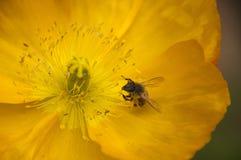 Primer de la abeja en una flor amarilla abierta de la amapola Foto de archivo libre de regalías