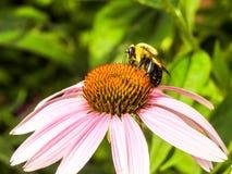 Primer de la abeja en una margarita de Shasta Imagenes de archivo