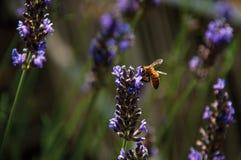 Primer de la abeja encima de la flor de la lavanda en un jardín en el pueblo del Châteauneuf-du-Pape Imágenes de archivo libres de regalías