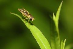 primer de la Abeja-mosca en una hoja Fotografía de archivo libre de regalías