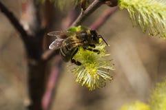 Primer de la abeja que recoge el polen en los riñones Fotografía de archivo