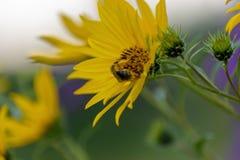 Primer de la abeja que recolecta el polen de una flor de la planta de compás Fotos de archivo