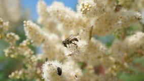 Primer de la abeja recoger el n?ctar y polinizar las flores en una rama de ?rbol Los insectos recogen el n?ctar de las flores ama