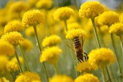 Primer de la abeja de trabajador en un campo de Immortelle Foto de archivo libre de regalías