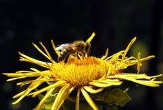 Primer de la abeja de trabajo en la flor amarilla Imágenes de archivo libres de regalías