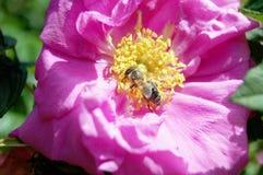 Primer de la abeja y de rosas rosadas en jardín Foto de archivo libre de regalías
