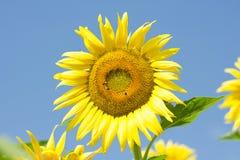 Primer de la abeja y del girasol Fotografía de archivo libre de regalías