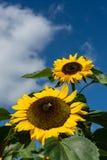Primer de la abeja y del girasol en un cielo azul Fotos de archivo