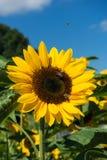 Primer de la abeja y del girasol en un cielo azul Imagen de archivo libre de regalías