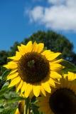 Primer de la abeja y del girasol en un cielo azul Fotos de archivo libres de regalías