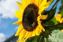 Primer de la abeja y del girasol en un cielo azul Imagen de archivo