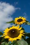 Primer de la abeja y del girasol en un cielo azul Foto de archivo libre de regalías