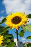 Primer de la abeja y del girasol en un cielo azul Imagenes de archivo