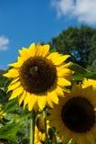 Primer de la abeja y del girasol en un cielo azul Fotografía de archivo libre de regalías
