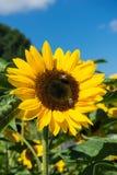Primer de la abeja y del girasol en un cielo azul Foto de archivo