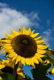 Primer de la abeja y del girasol en un cielo azul Fotografía de archivo