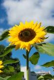 Primer de la abeja y del girasol en un cielo azul Imágenes de archivo libres de regalías