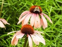 Primer de la alimentación apícola en un Echinacea Imagen de archivo libre de regalías