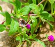 Primer de la alimentación hermosa tropical de la mariposa Imagenes de archivo