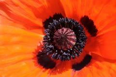 Primer de la amapola anaranjada Imagen de archivo libre de regalías