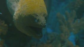 Primer de la anguila de moray del mar almacen de metraje de vídeo