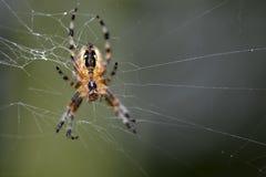 Primer de la araña en el web fotos de archivo libres de regalías