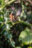 Primer de la araña en web Imágenes de archivo libres de regalías