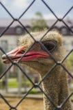 Primer de la avestruz Fotografía de archivo libre de regalías