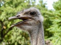 Primer de la avestruz con un pico abierto Fotos de archivo