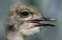 Primer de la avestruz de la cabeza Fotos de archivo
