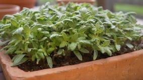Primer de la bandeja de la semilla con los tomates jovenes almacen de video
