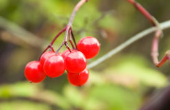 Primer de la baya roja Foto de archivo libre de regalías