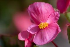 Primer de la begonia rosada L Flor en la floración fotos de archivo