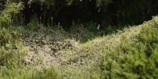 Primer de la cámara lenta del agua que gotea en el musgo, 4K ROJO almacen de video