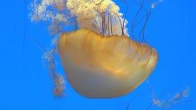 Primer de la cámara lenta de las medusas anaranjadas gigantes de la medusa en el acuario, fondo azul almacen de metraje de vídeo
