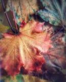 Primer de la caída todavía de las hojas de arce de la vida Fotografía de archivo libre de regalías
