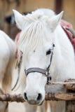 Primer de la cabeza de caballo blanco Imágenes de archivo libres de regalías