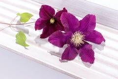 Primer de la cabeza de flor de la clemátide púrpura Fotos de archivo libres de regalías